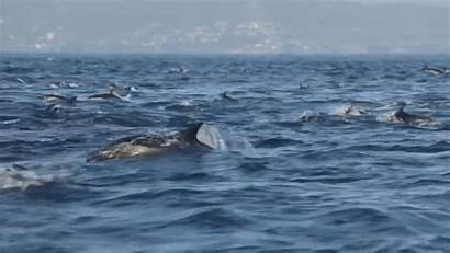 Dolphin Whale Superpod Laguna Watchers Report