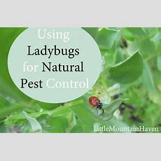 Natural Pest Control Ladybugs In Your Garden