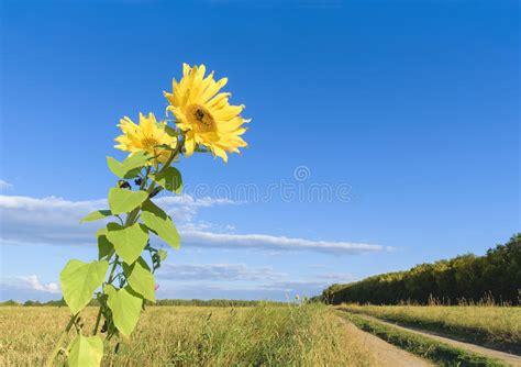 sunflowers autumn field last landscape copy sunflower fall