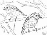Robin Coloring American Bird Drawing Pages Draw Birds Animal Robins Batman Getdrawings Printable Instincts Getcolorings sketch template