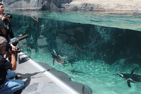 new penguin exhibit at the aquarium of the pacific opens may 17 2012 events in