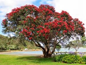 our new zealand mission experience pohutukawa tree