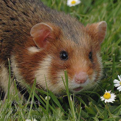 Inheemse hamster Europese wilde gewone veldhamster ...