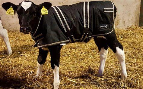 farmers  putting coats  calves  cut