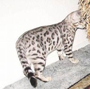 Bengal breeders Sacramento CA
