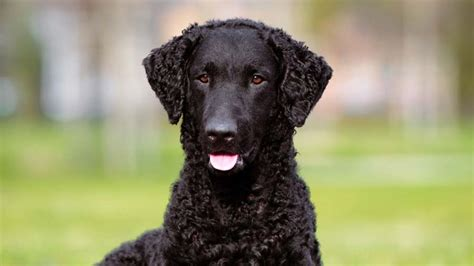 curly coated retriever information characteristics