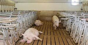 Body Temperature App Research Finds Betaine Reduces Heat Stress Impact On Sows