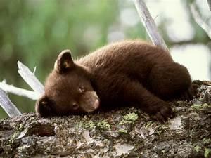 zoobio2 - bears