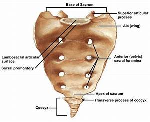 ABC Radiology Blog: sacrum and coccyx  Coccyx
