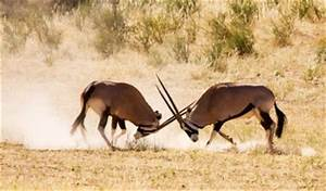 Those two antelopes are fighting over food, shelter, mate ...