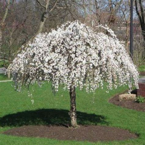beautiful flowering tree  yard landscaping  amzhousecom