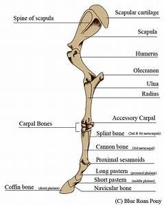 Anatomy Of The Equine Forleg