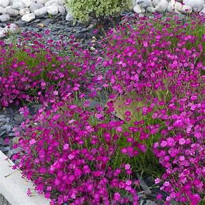 Plantes Vivaces Pour Massif : dianthus deltoides brillant lot de 3 godets de 7 cm gamm ~ Premium-room.com Idées de Décoration