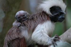 The Cotton Top Tamarin | The Monkey Speaks His Mind