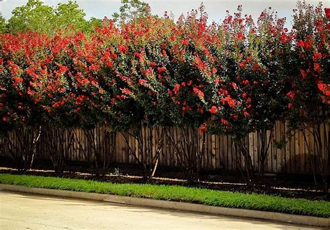 crate size chart crape myrtle varieties and guide the tree center