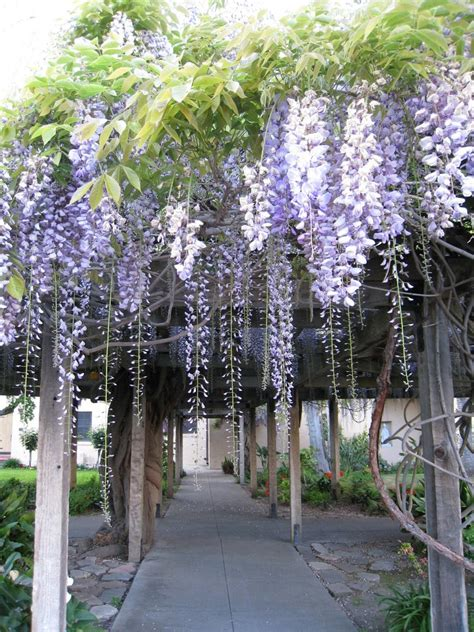 growing wisteria controlling or getting rid of wisteria gardening know how