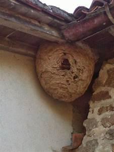 Comment Repérer Un Nid De Frelon : nid de frelons asiatiques comment reconaitre les frelons ~ Melissatoandfro.com Idées de Décoration