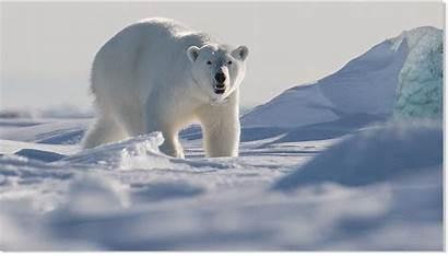 Polar Bear Svalbard Kills Islands Norway Killed