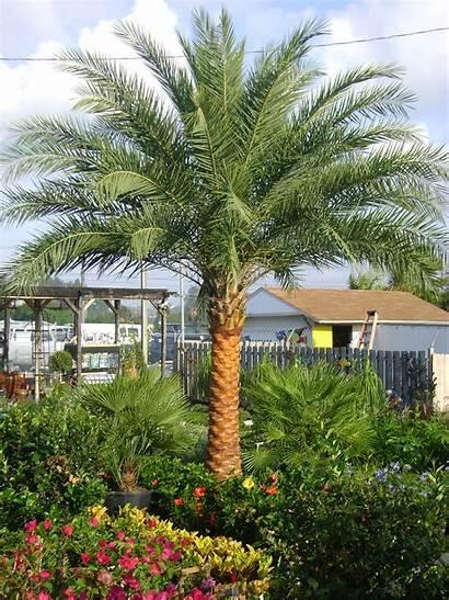 Palm Sylvester Palms Orlando Trees Tree Florida