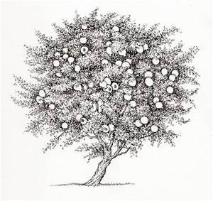 Pomegranate Punica Granatum Tree