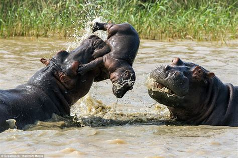 Baby Hippo Gets Tossed Into The Air As If It Was A Doll