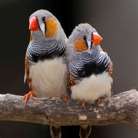 zebra finch for sale 187 free shipping 187 bird bazar