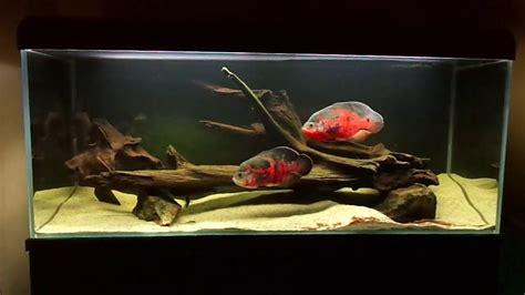oscar fish astronotus ocellatus  tank youtube