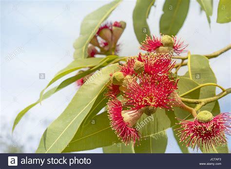 blauer eukalyptus schneiden eucalyptus blossoms stockfotos eucalyptus blossoms