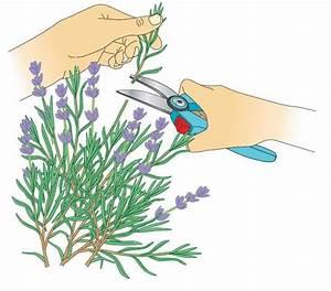 Magnolien Vermehren Durch Stecklinge : lavendel durch stecklinge vermehren ~ Lizthompson.info Haus und Dekorationen