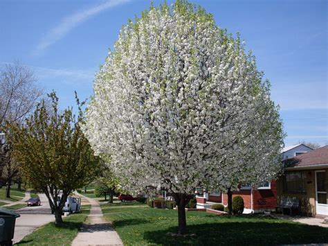 large flowering trees photo