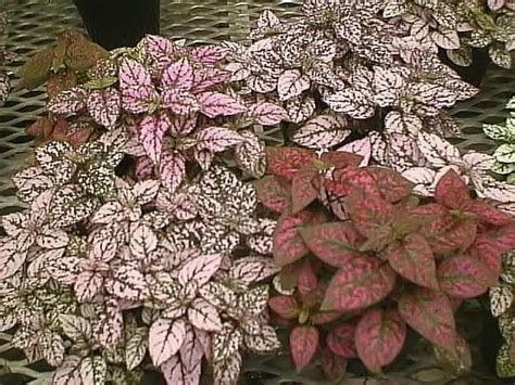 polka dot plant polka dot plants how to grow and care for pink polka dots hypoestes garden helper gardening