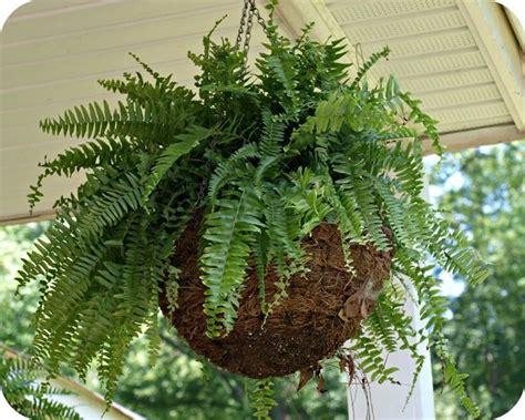 felce piante appartamento  coltivare la felce