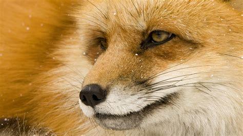 fox wallpapers  desktop pixelstalknet