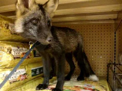 is it to own a fox in ohio my pet fox haha oh man did i mention that i hate my own