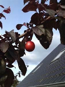 Was Ist Das Für Ein Baum : was bitte ist das f r ein strauch baum rote mirabellen prunus cerasifera 39 nigra ~ Buech-reservation.com Haus und Dekorationen