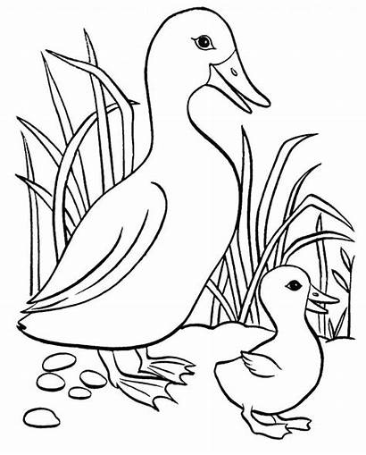 Coloring Pages Butterfly Ducks Duck Printable Colouring