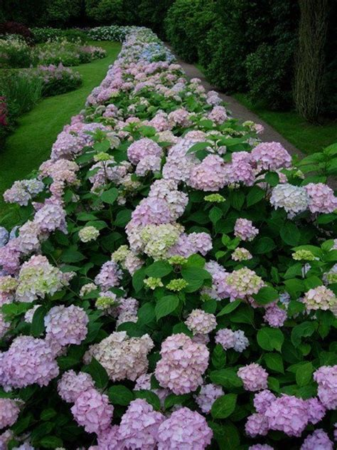 hydrangea border garden hydrangea hedge the lovely garden pinterest