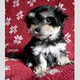 White German Shepherd Lab Mix Puppies   446 x 517 jpeg 44kB