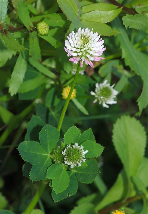 clover plant clover wikipedia