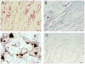 Multilineage Differentiation Of Canine Adipose Tissue