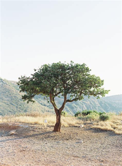 olive tree leaves lone olive tree in kefalonia greece entouriste 1179