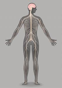 Human Body Silhouette And Nervous System Stock