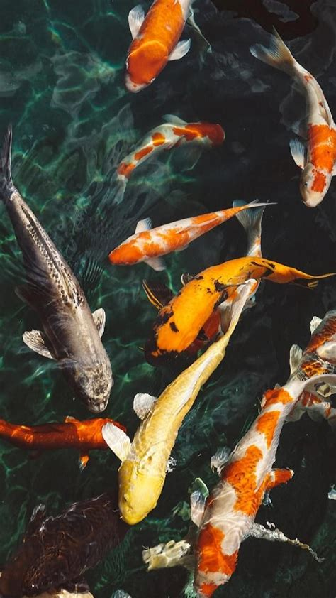 koi fish wallpaper  georgekev