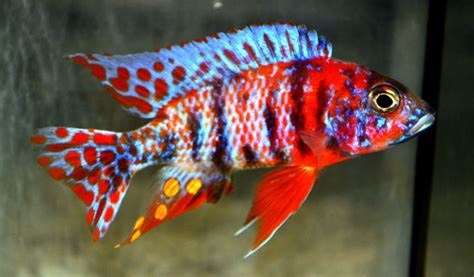 most colorful cichlids 17 best images about cichlid fish on peacocks