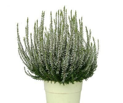 gemüse anbauen hochbeet calluna besenheide lexikon f 252 r kr 228 uter und pflanzen