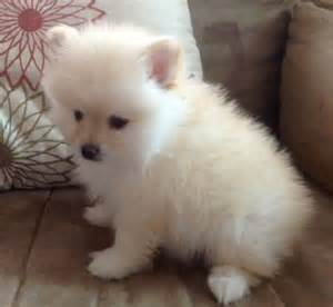 teacup puppies pomeranian image search results dog