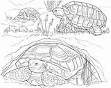 Turtle Coloring Pages Sea Nest Animals Turtles Eggs Laying sketch template