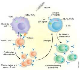 attenuated vaccines 2). Vaccines & Immunizations