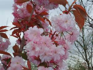 Flowering Cherry Tree Varieties