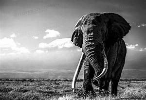 Elephant Wallpaper Black And White